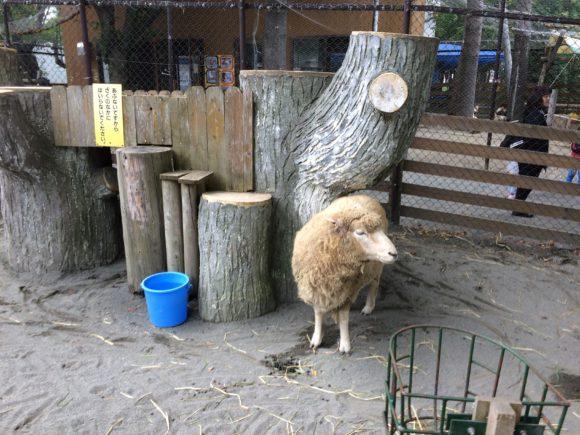 園内を自由にうろつく羊