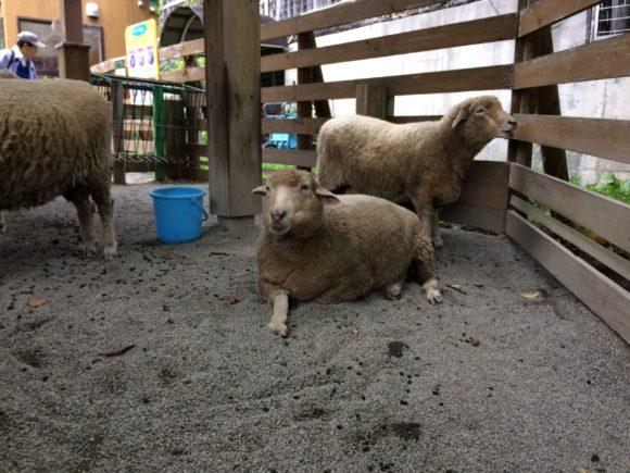 リラックスする羊
