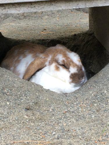 穴を掘って寝るロップイヤー