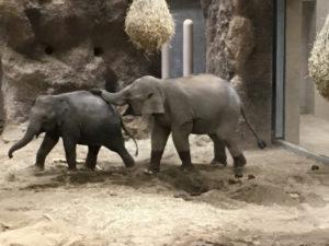 円山動物園のゾウ。可愛い