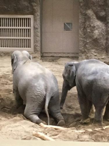 円山動物園のゾウ。じゃれ合っている