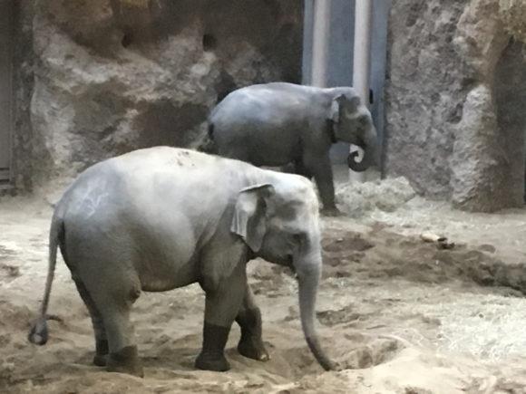 円山動物園のゾウ。いつもぴったり寄り添っていた
