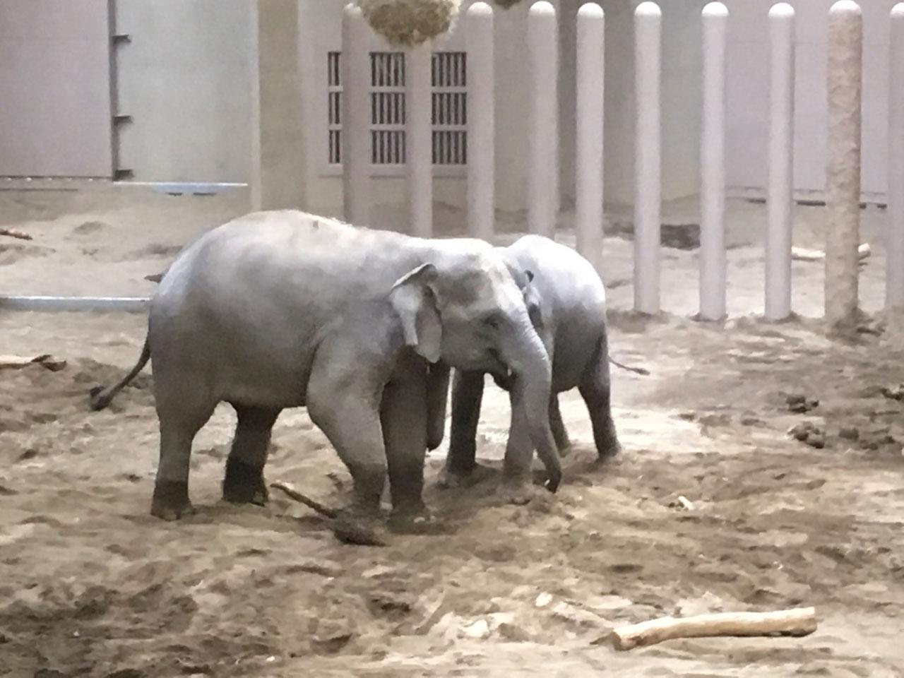 子連れに大人気 円山動物園のゾウ舎に行ってきた