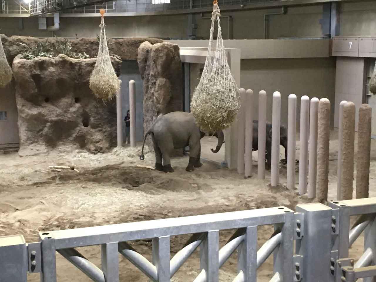 円山動物園のゾウ。同僚を呼び出している